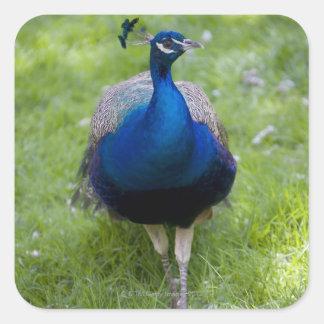 Male peacock (Pavo cristatus) Square Sticker