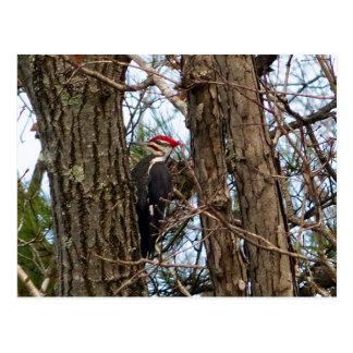 Male Pileated Woodpecker Postcard