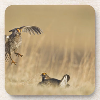 Male prairie chickens at lek in Loup County Beverage Coaster