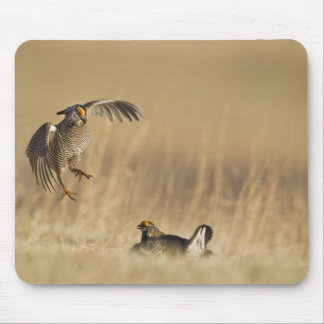 Male prairie chickens at lek in Loup County Mouse Pad