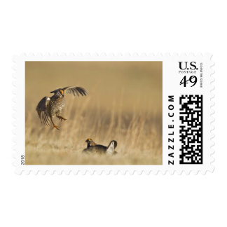 Male prairie chickens at lek in Loup County Postage Stamp