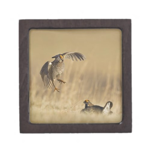 Male prairie chickens at lek in Loup County Premium Trinket Boxes