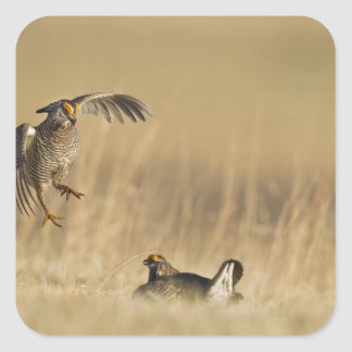 Male prairie chickens at lek in Loup County Square Sticker