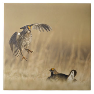 Male prairie chickens at lek in Loup County Tile