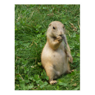 Male Prairie Dog Takes In The Scene On His Hind Le Postcard