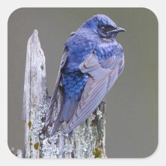Male Purple Martin nest over Lake Sammamish Square Sticker