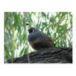 male quail postcard