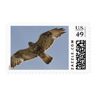 Male rough-legged hawk soars near its nest stamp
