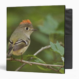 Male Ruby-crowned Kinglet, Regulus calendula Binder
