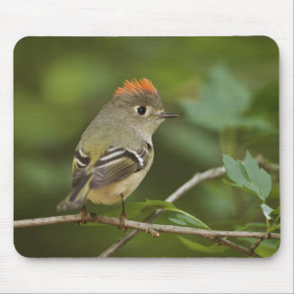 Male Ruby-crowned Kinglet, Regulus calendula Mouse Pad