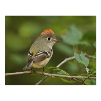 Male Ruby-crowned Kinglet, Regulus calendula Postcard