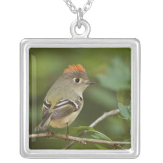Male Ruby-crowned Kinglet, Regulus calendula Silver Plated Necklace
