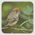 Male Ruby-crowned Kinglet, Regulus calendula Square Stickers
