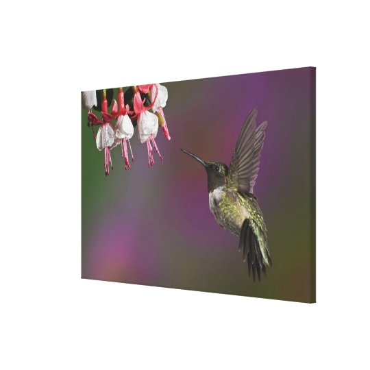 Male Ruby throated Hummingbird, Archilochus 2 Canvas Print