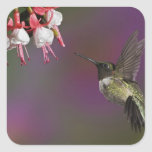 Male Ruby throated Hummingbird, Archilochus 2 Square Sticker