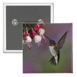 Male Ruby throated Hummingbird, Archilochus 2 Inch Square Button
