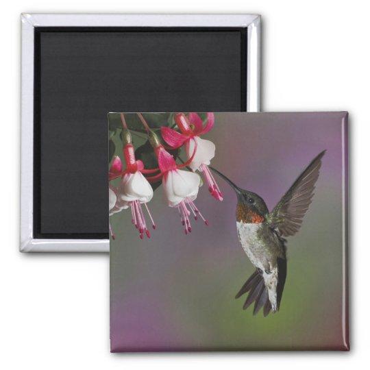 Male Ruby throated Hummingbird, Archilochus Magnet
