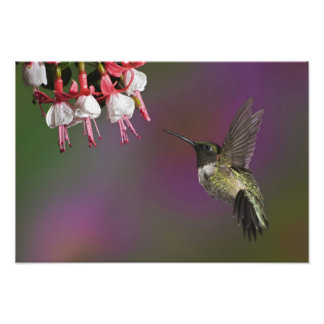 Male Ruby throated Hummingbird, Archilochus Photo Print
