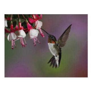 Male Ruby throated Hummingbird, Archilochus Postcard