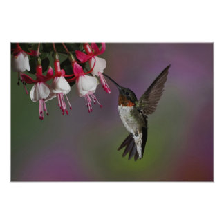 Male Ruby throated Hummingbird, Archilochus Poster