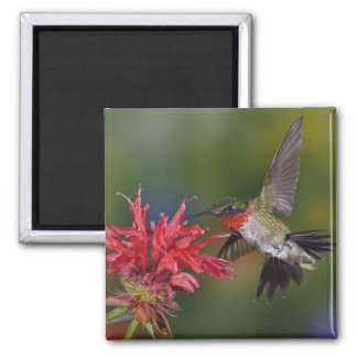 Male Ruby-throated Hummingbird feeding on 2 Inch Square Magnet