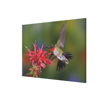 Male Ruby-throated Hummingbird feeding on Canvas Print