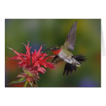 Male Ruby-throated Hummingbird feeding on Greeting Card