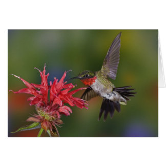 Male Ruby-throated Hummingbird feeding on Card