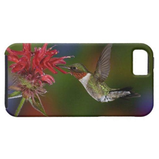 Male Ruby-throated Hummingbird feeding on iPhone 5 Cover