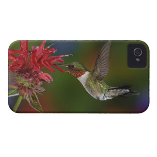 Male Ruby-throated Hummingbird feeding on Blackberry Cases