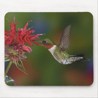 Male Ruby-throated Hummingbird feeding on Mouse Pad