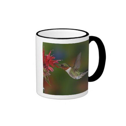 Male Ruby-throated Hummingbird feeding on Ringer Coffee Mug