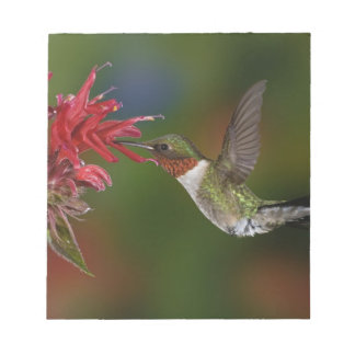Male Ruby-throated Hummingbird feeding on Memo Note Pad