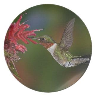 Male Ruby-throated Hummingbird feeding on Plate