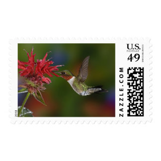 Male Ruby-throated Hummingbird feeding on Postage