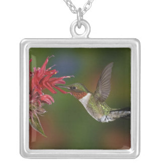 Male Ruby-throated Hummingbird feeding on Silver Plated Necklace