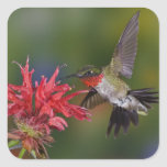 Male Ruby-throated Hummingbird feeding on Square Sticker