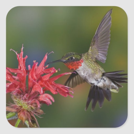 Male Ruby-throated Hummingbird feeding on Stickers