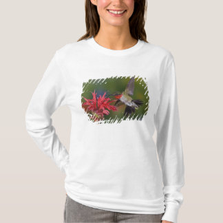 Male Ruby-throated Hummingbird feeding on T-Shirt