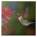 Male Ruby-throated Hummingbird feeding on Large Square Tile