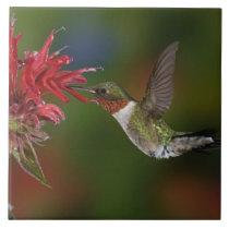 Male Ruby-throated Hummingbird feeding on Tile