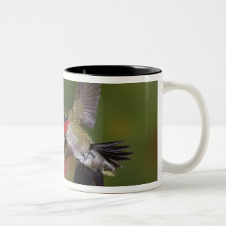 Male Ruby-throated Hummingbird feeding on Two-Tone Coffee Mug