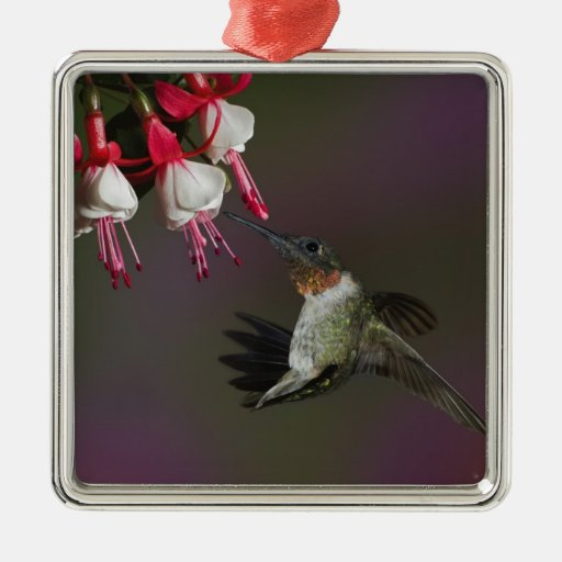Male Ruby-throated Hummingbird in flight. Square Metal Christmas Ornament