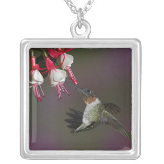 Male Ruby-throated Hummingbird in flight. Silver Plated Necklace