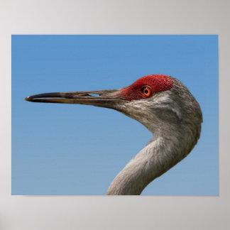 Male Sandhill Crane Poster