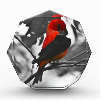 Male Scarlet Tanager Acrylic Award