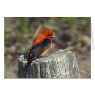 Male Scarlet Tanager in breeding plumage Cards