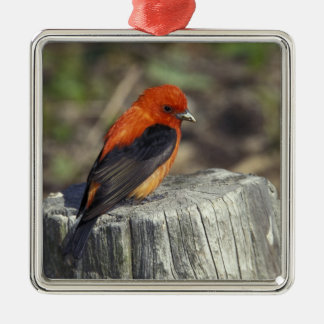Male Scarlet Tanager in breeding plumage Metal Ornament
