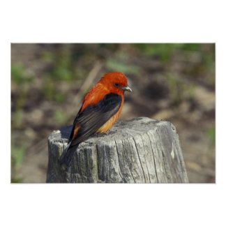 Male Scarlet Tanager in breeding plumage Poster