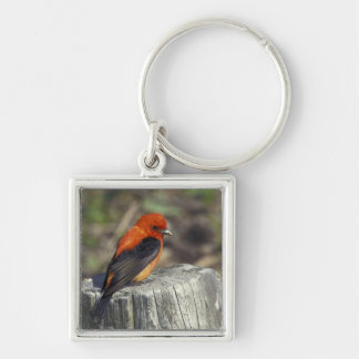Male Scarlet Tanager in breeding plumage Silver-Colored Square Keychain